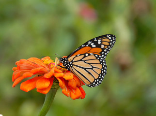 Monarch Butterfly sipping from an orange zinnia flower in the garden.