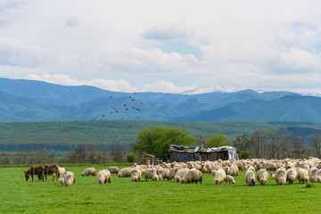 Sheep herd on pasture in mountain with birds flock