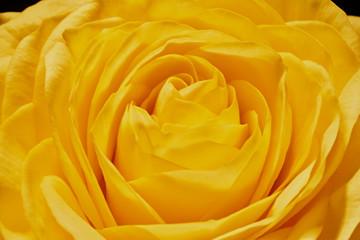 Spoed Fotobehang Macro Yellow rose