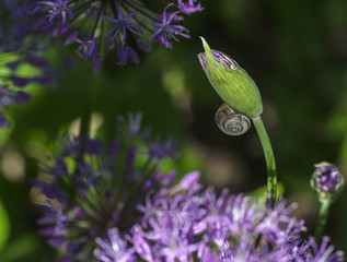 macro decorative onion   purple flowers with a snail