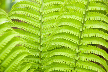 Fern leaves in spring on a sunny day
