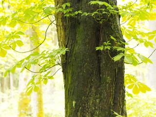 Kastanienbaum im Frühling