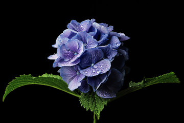 Waterdrops on single purple hydrangea flower isolated on black background