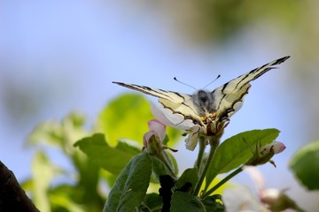 Бабочка на цветах яблони