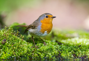 The Robin on the green Moss