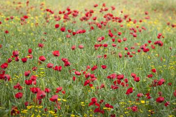 Poppy flowers in bloom, poppy field stock image.