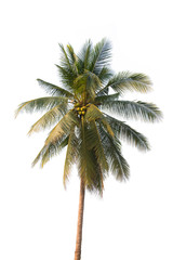Tree coconut palm trees isolated on white background