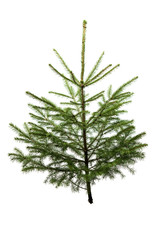 Fir tree for Christmas, not adorned, isolated