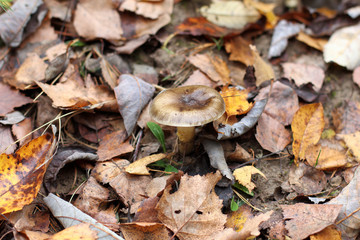 mushroom hiding in foliage/forest background with fallen autumn leaves and hide fungus