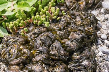 Algen im Rasen und auf Wegen