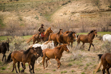 Ranch wrangler rounding up herd of horses on horse drive