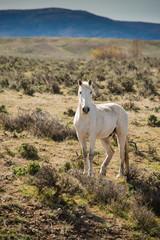 Wild white horse running free in sage brush prairie of Colorado