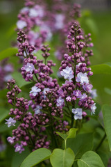 Foto op Aluminium Lilac Сирень