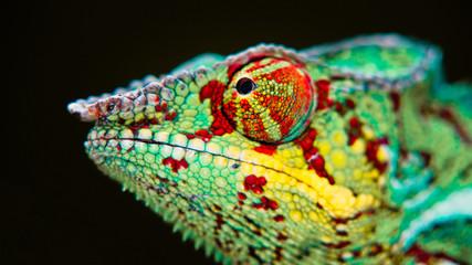 Detail of a chameleon.