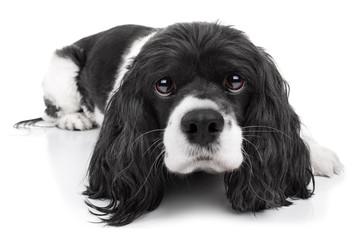 Cavalier King Charles Spaniel Dog Isolated