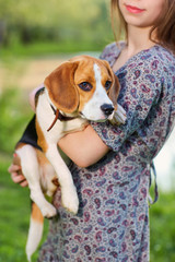 Portrait dog, beagle in the hands of women.