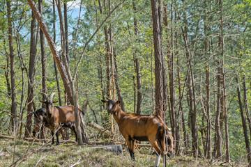 chèvres dans la forêt