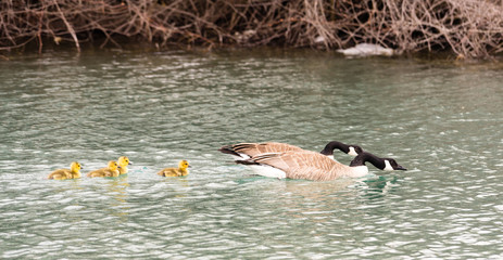 Geese Family Huddled Together Goose Chicks Swimming Lake