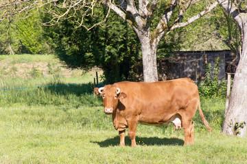 vache en pâture