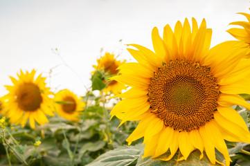big sunflower on the background of sunflowers plantation.