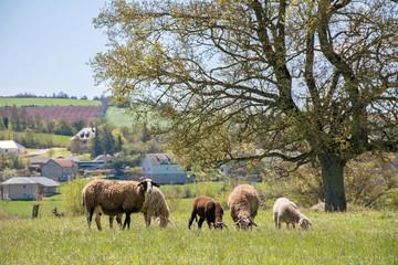 moutons et agneaux en pâture