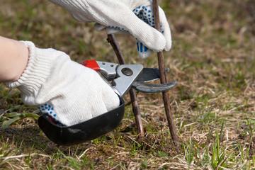 hands in gloves pruning raspberry with garden pruner