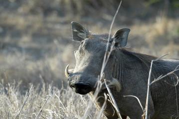 Desert Warthog, Phacochoerus aethiopicus, male portrait, Gorongosa National Park, Mozambique