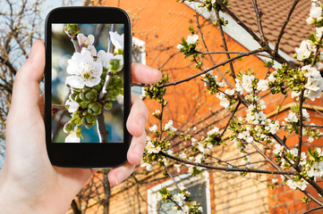 farmer photographs white blossoms of cherry tree