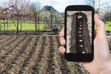 farmer photographs the planting of potatoes