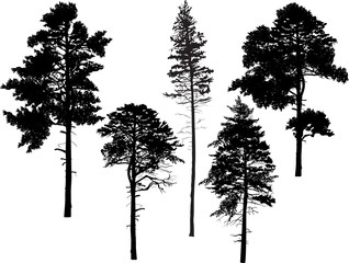 five black pine trees set isolated on white