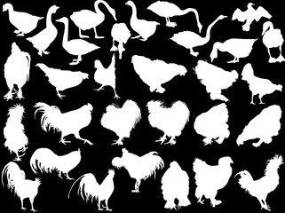 thirty poultry silhouettes isolated on black