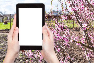 farmer photographs garden with peach tree