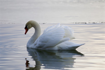 Beautiful isolated picture with the swan swimming in the lake