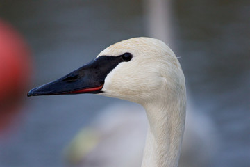 Beautiful image with a cute trumpeter swan