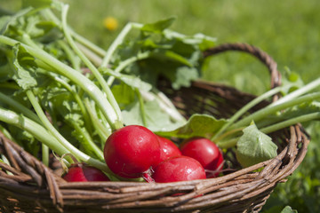 Fresh radishes with tops in a wicker basket on a wooden table