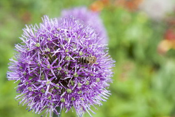 Bee collects pollen and nectar from beautiful blooming purple Allium