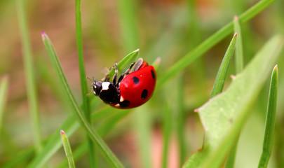 Ladybug on a green blade