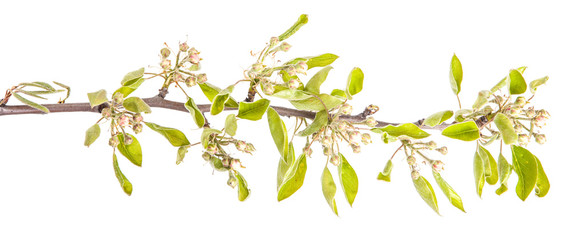 blooming branch of pear. isolated on white background