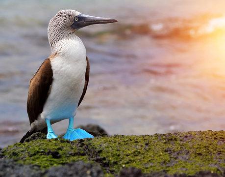Blue footed booby at Galapagos