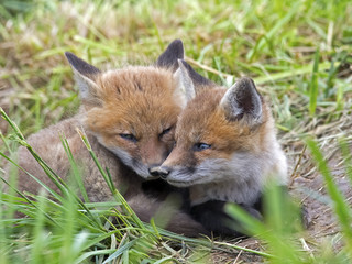 Pair Red Fox Kits