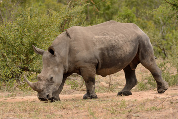 Large lone African White rhinoceros moving through a clearing in the bush