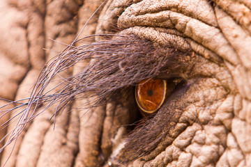Wall Mural - Elephant Eye