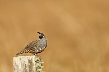 Male California quail, Callipepla californica, posing on a fence