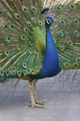 Male Indian Peafowl, Pavo cristatus