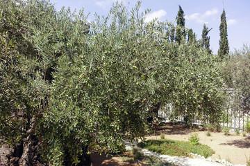 Getsemani orto degli ulivi