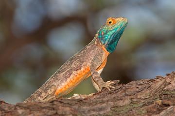 Male ground agama (Agama aculeata) in bright breeding colors, Kalahari desert, South Africa.