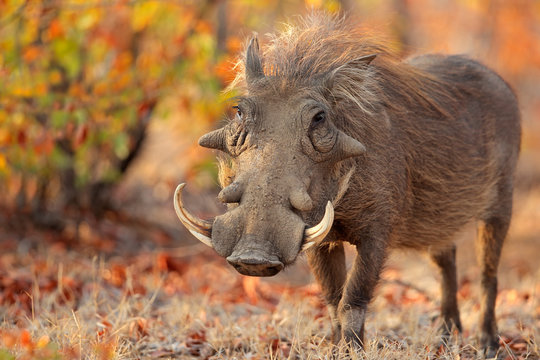 Warthog (Phacochoerus africanus) in natural habitat, Kruger National Park, South Africa.