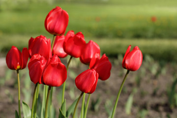 bouquet of red tulips growing/bouquet of tulips in a flowerbed on a sunny day