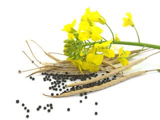 Raps, Brassica napus, Schoten, Körner, Samen