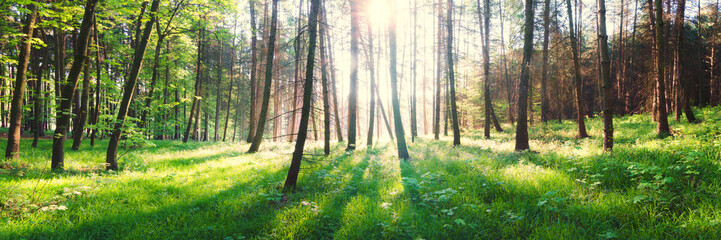 sunrise in spring green forest